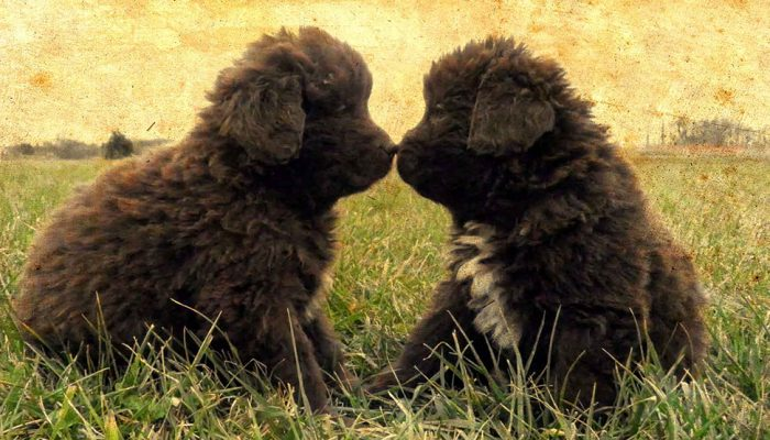 Newfoundland Puppies For Sale By Breeder At Horner Newfoundlands