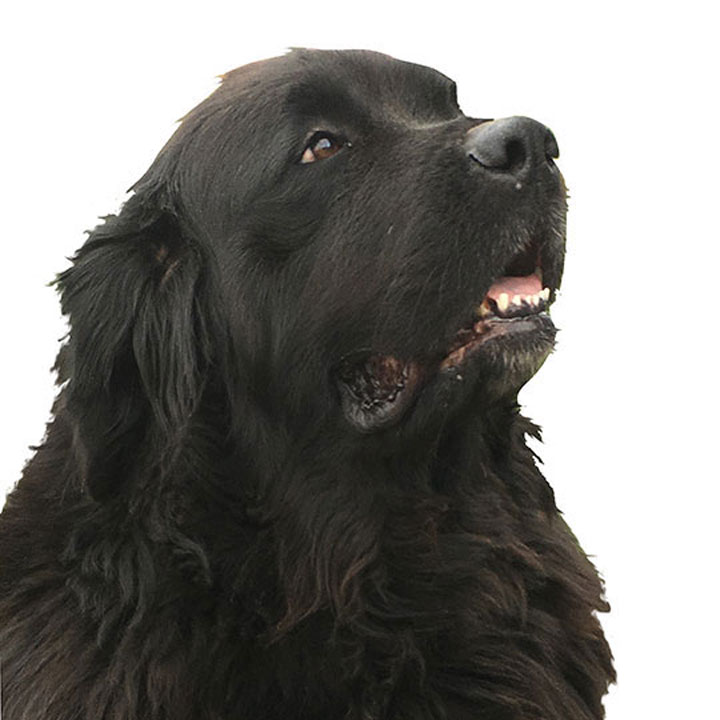 horner newfoundland dogs in kentucky