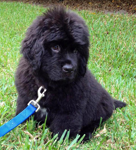 Fluffy Black Newfoundland Puppy For Sale in New York