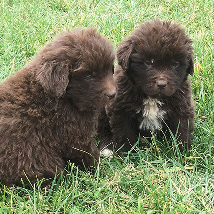 Fuzzy Newf Puppies West Virginia
