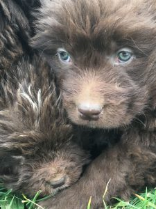 Brown Newfie Puppies For Sale in Wisconsin
