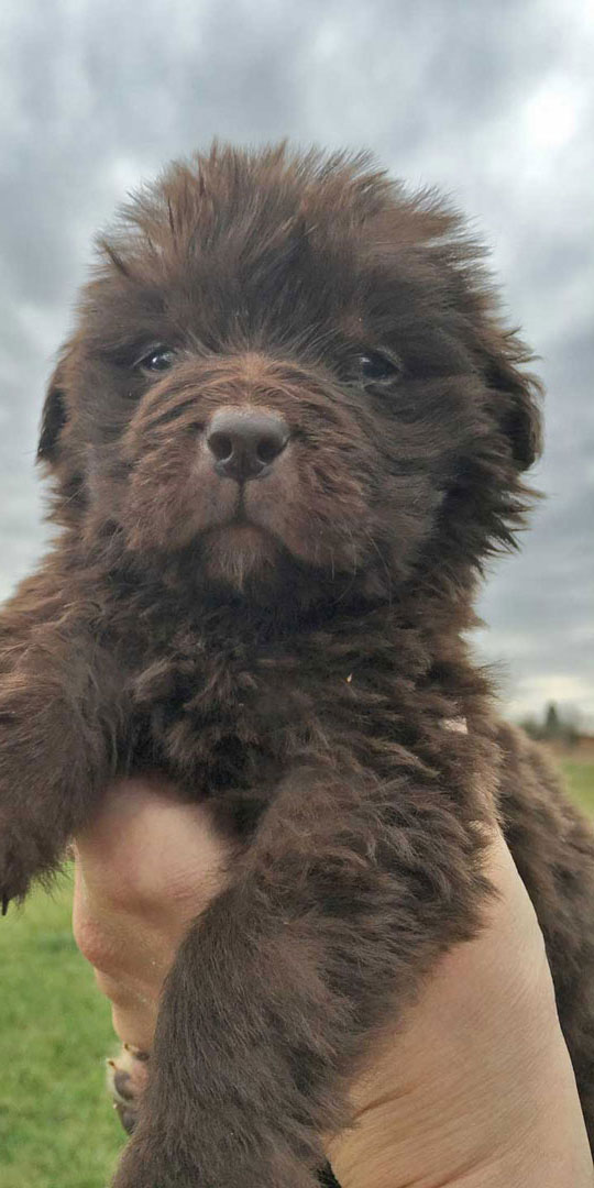Newfoundland Puppies In Pa Newfie Puppies For Sale Horner
