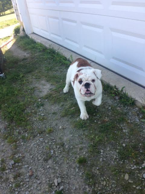 English Bulldog Puppies For Sale in Ohio   English Bulldog